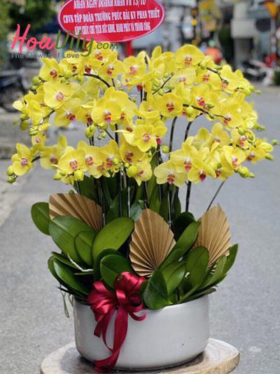 Chậu lan hồ điệp vàng - Mùa hoa nở