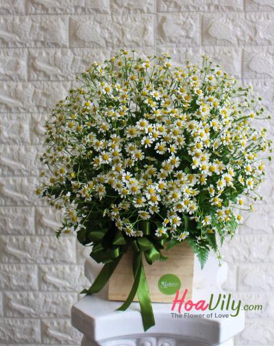 Hoa cúc tana - Gửi tình yêu