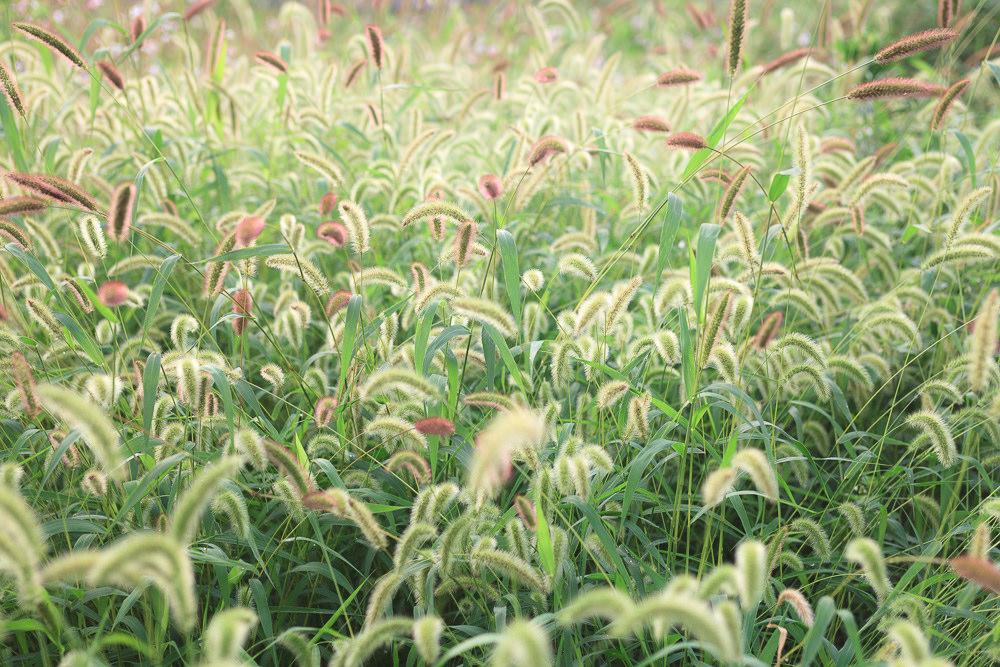 Hoa cỏ may - hoa cỏ mọc dại ven đường