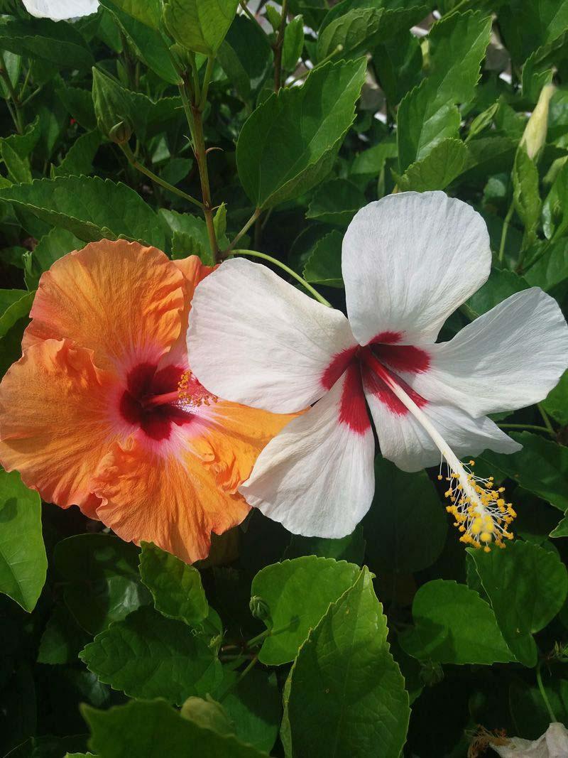 Vẻ đẹp hoa dâm bụt mọc vệ đường