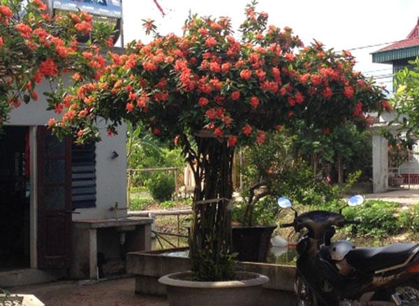 Có nên trồng hoa mẫu đơn trước nhà?