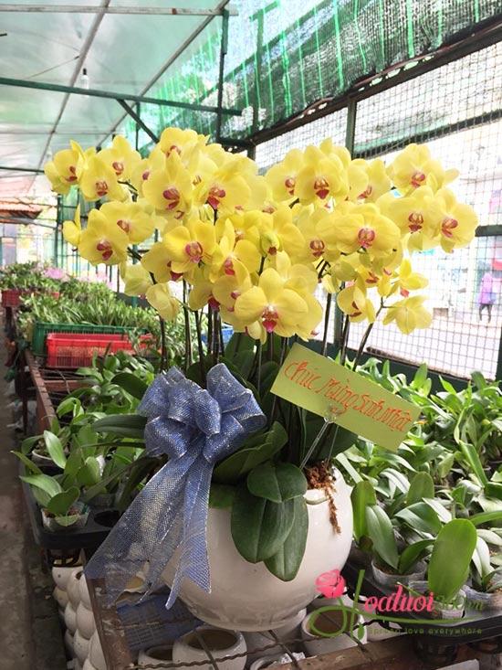Chăm sóc hoa lan hồ điệp vàng