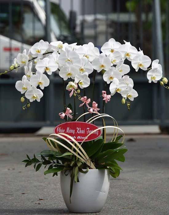 Hoa lan mừng sức khỏe sang trọng
