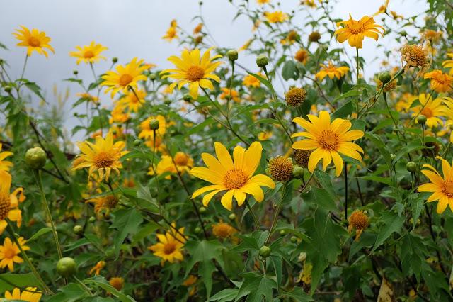 Vẻ đẹp hoa dã quỳ mọc dại