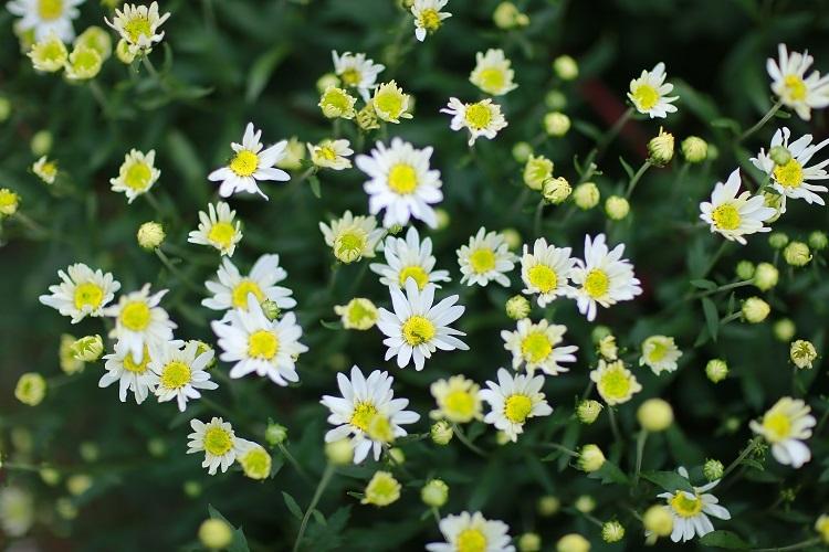 Vẻ đẹp tinh khôi của hoa xuyến chi mọc dại