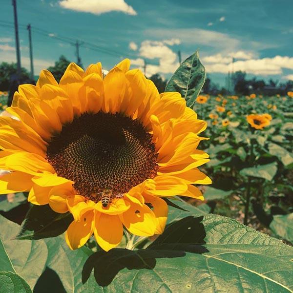 Hoa hướng dương vàng