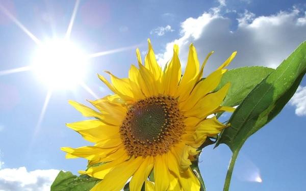 Hoa hướng dương biểu tượng sự ấm áp