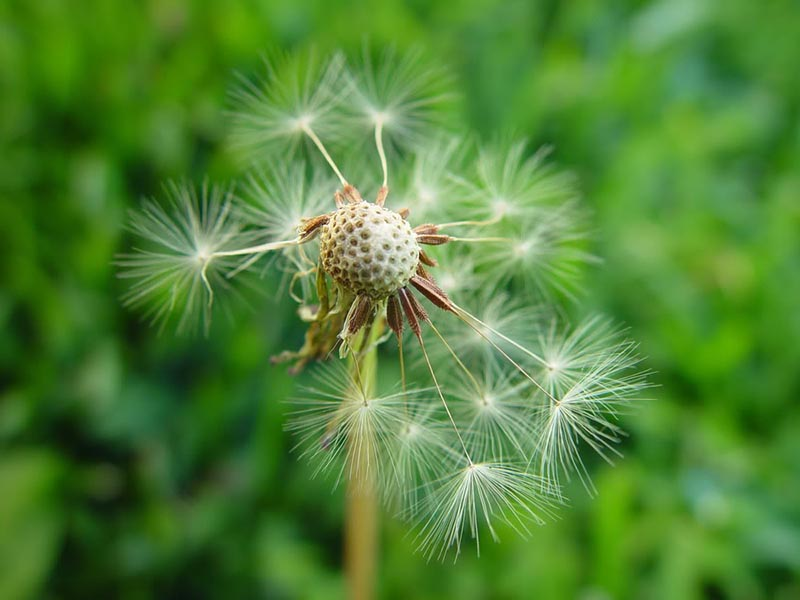Ý nghĩa hoa bồ công anh trước gió