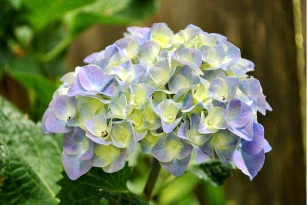 Nguồn gốc hoa cẩm tú cầu