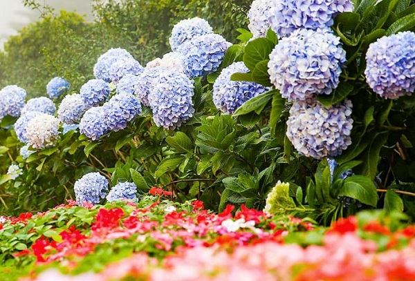 Hoa cẩm tú cầu nở khi nào?