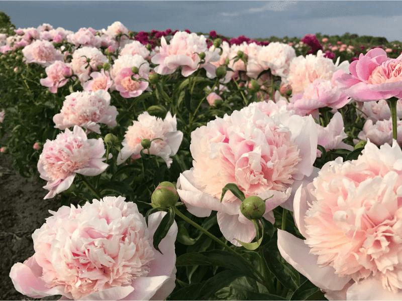 Cây hoa mẫu đơn rừng